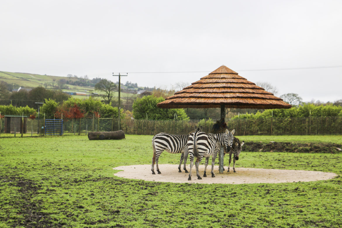 Three Maneless Zebras congregate to eat under thatched umbrella supplied by Africa Roofing UK