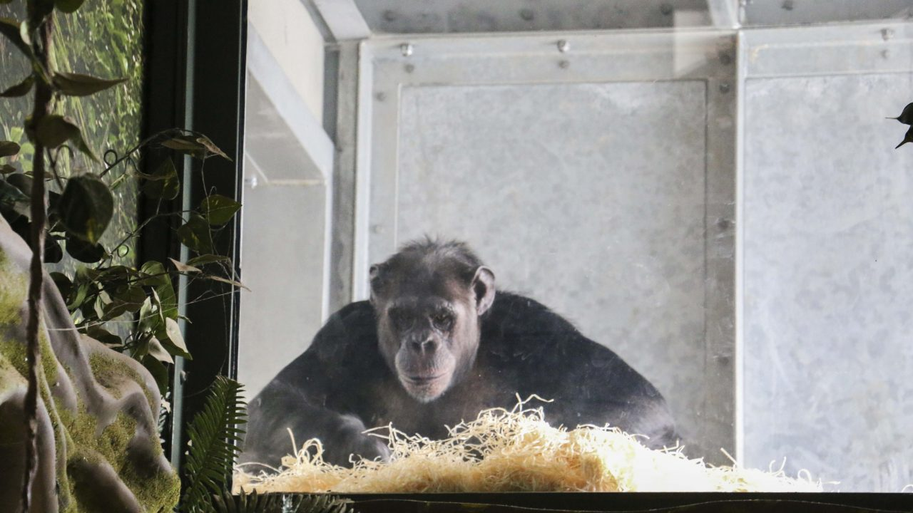Chimpanzee looks at the camera through a window of Chimpanzee Eden at Twycross Zoo, which Africa Roofing UK has supplied the thatching for